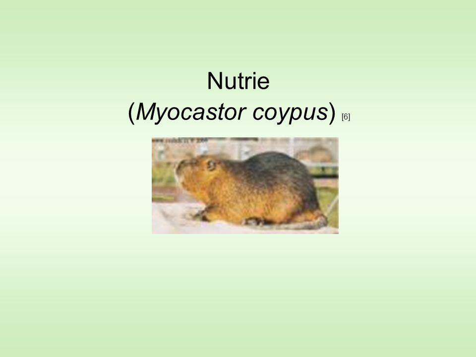 Nutrie (Myocastor coypus) [6]